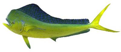 Mahi Mahi | Dolphin