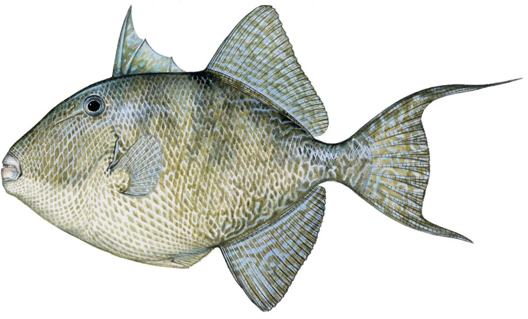 Triggerfish charters tampa bay for Captain anderson deep sea fishing