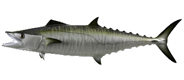 King Mackeral